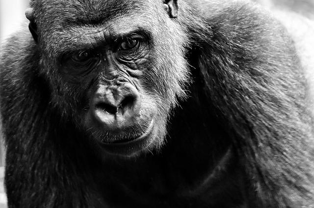 aAugustus, maand van de aap